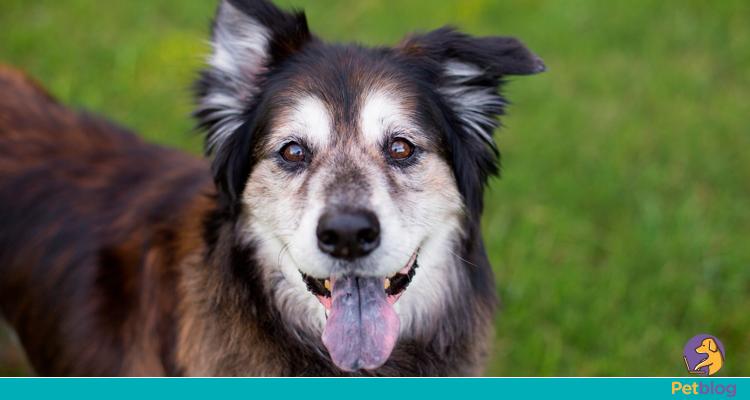 Cuidados especiais com cães idosos